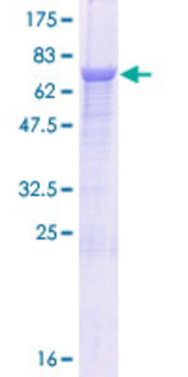 Abnova™Human C10orf97 Full-length ORF (NP_079224.1, 1 a.a. - 445 a.a.) Recombinant Protein with GST-tag at N-terminal 25μg Abnova™Human C10orf97 Full-length ORF (NP_079224.1, 1 a.a. - 445 a.a.) Recombinant Protein with GST-tag at N-terminal