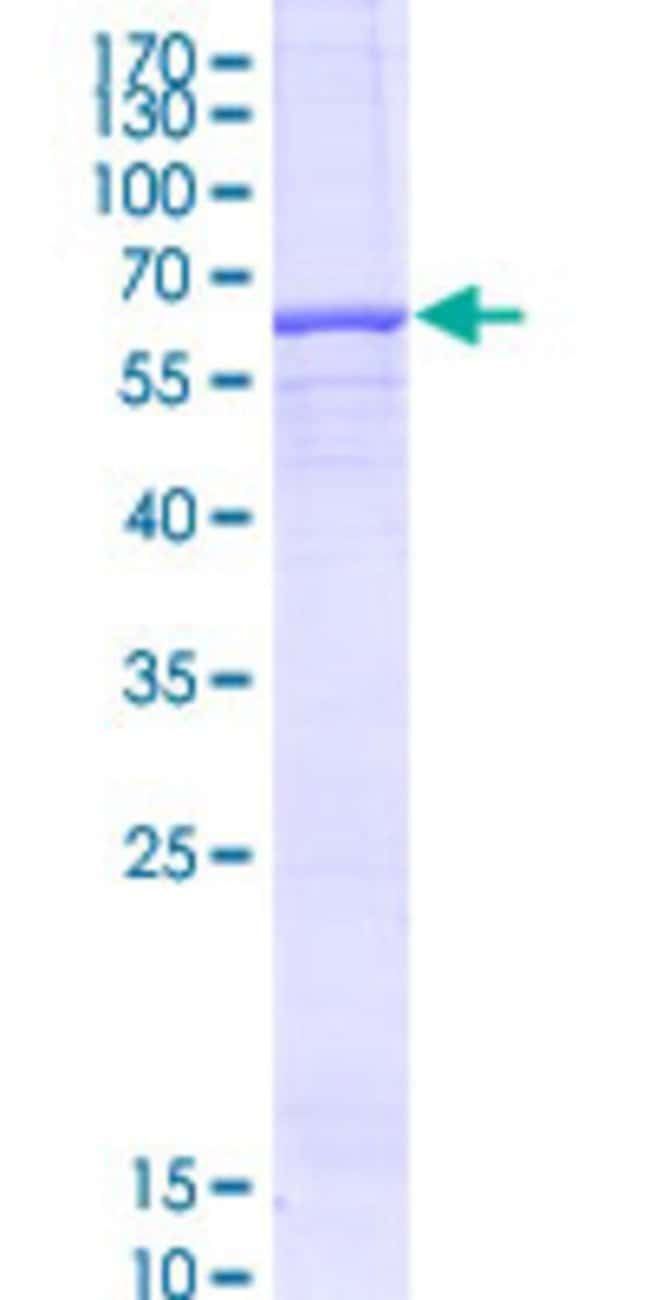 Abnova™Human TRABD Full-length ORF (AAH12445.1, 1 a.a. - 330 a.a.) Recombinant Protein with GST-tag at N-terminal 10μg Abnova™Human TRABD Full-length ORF (AAH12445.1, 1 a.a. - 330 a.a.) Recombinant Protein with GST-tag at N-terminal