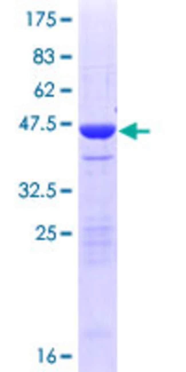 AbnovaHuman NETO2 Full-length ORF (AAH12381.1, 1 a.a. - 148 a.a.) Recombinant