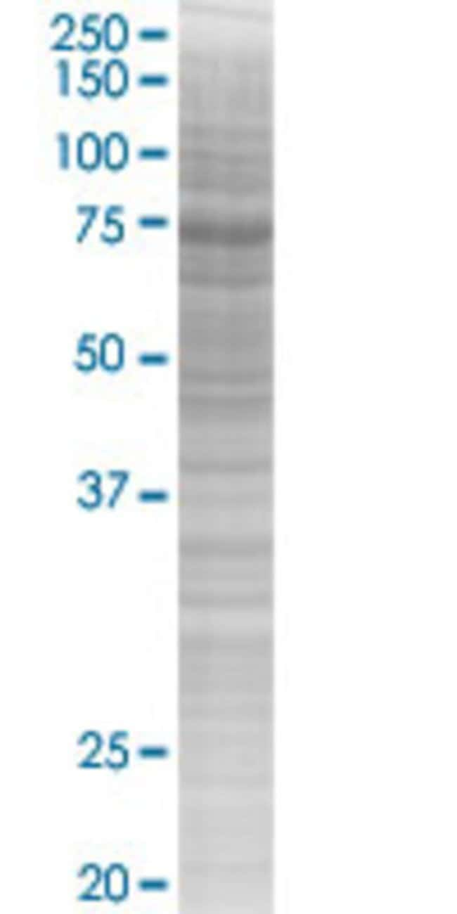 AbnovaARHGAP24 293T Cell Transient Overexpression Lysate (Denatured) (T03)