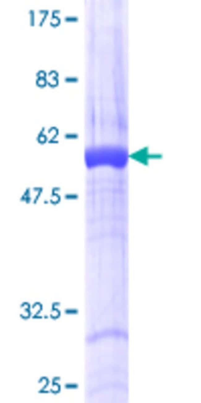 Abnova Human RASSF5 Full-length ORF (NP_872606.1, 1 a.a. - 265 a.a.) Recombinant