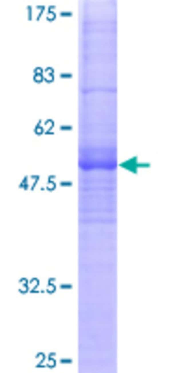 Abnova™ Human MS4A8B Full-length ORF (AAH22895, 1 a.a. - 250 a.a.) Recombinant Protein with GST-tag at N-terminal 10μg Abnova™ Human MS4A8B Full-length ORF (AAH22895, 1 a.a. - 250 a.a.) Recombinant Protein with GST-tag at N-terminal