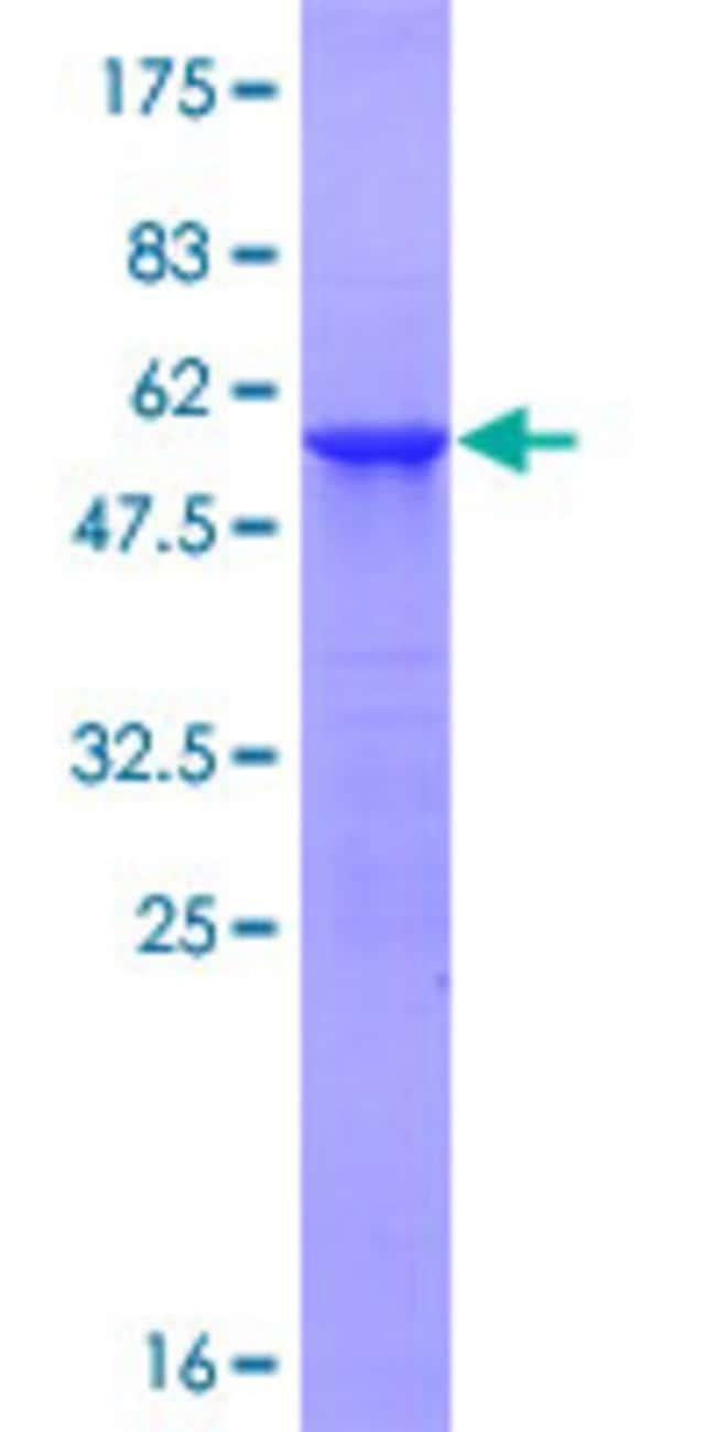 AbnovaHuman ATG10 Full-length ORF (NP_113670.1, 1 a.a. - 220 a.a.) Recombinant
