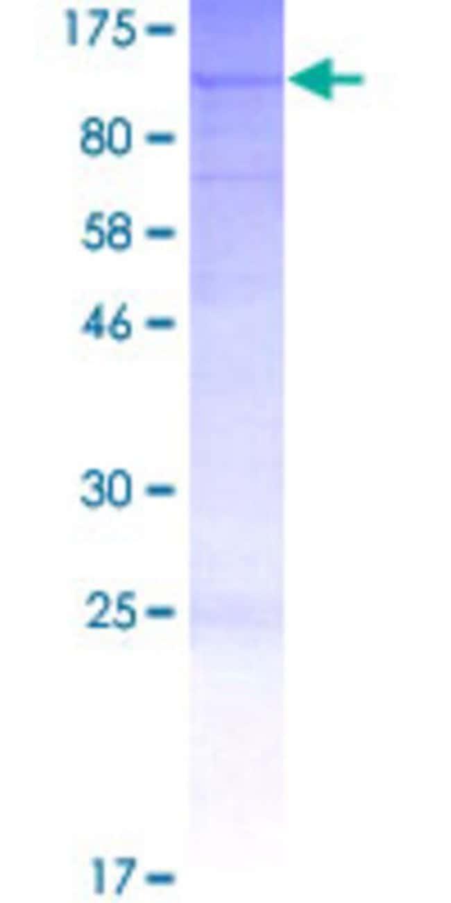 Abnova Human L3MBTL2 Full-length ORF (CAK54463.1, 1 a.a. - 705 a.a.) Recombinant