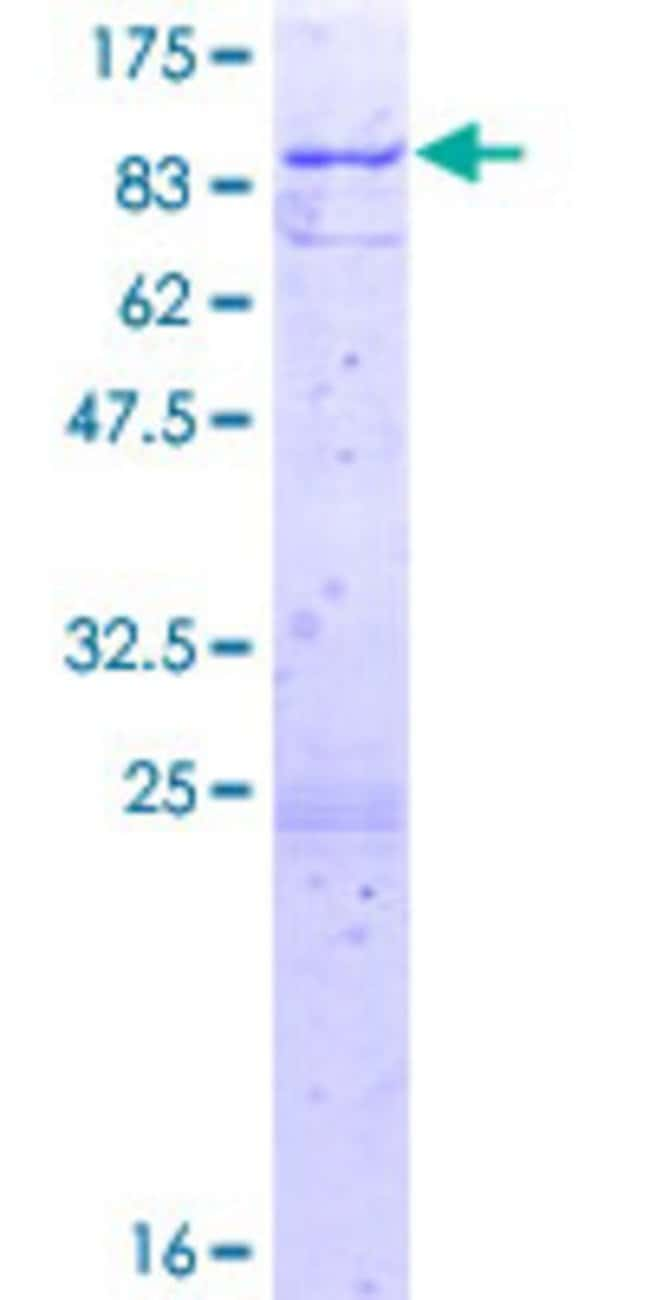 AbnovaHuman ATAD3B Full-length ORF (AAH02542.1, 1 a.a. - 648 a.a.) Recombinant