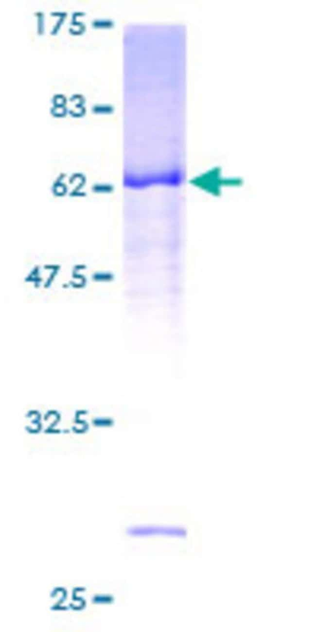 Abnova™Human RASSF4 Full-length ORF (AAH32593, 1 a.a. - 321 a.a.) Recombinant Protein with GST-tag at N-terminal 10μg Abnova™Human RASSF4 Full-length ORF (AAH32593, 1 a.a. - 321 a.a.) Recombinant Protein with GST-tag at N-terminal