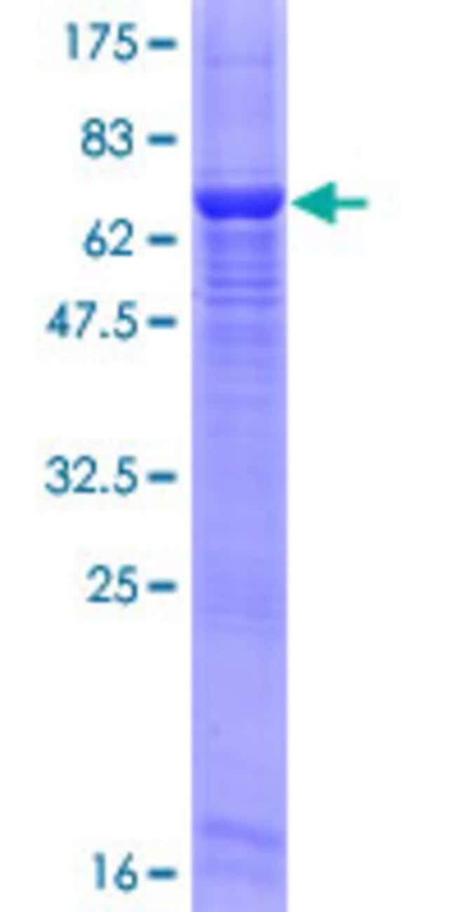 Abnova™Human FLJ23356 Full-length ORF (NP_115613.1, 1 a.a. - 350 a.a.) Recombinant Protein with GST-tag at N-terminal 10μg Abnova™Human FLJ23356 Full-length ORF (NP_115613.1, 1 a.a. - 350 a.a.) Recombinant Protein with GST-tag at N-terminal