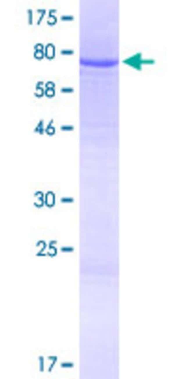 Abnova Human IQCG Full-length ORF (NP_115639.1, 1 a.a. - 443 a.a.) Recombinant