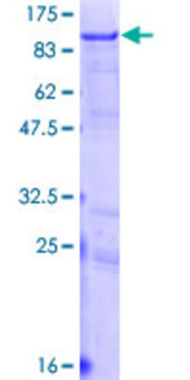Abnova™Human LNX1 Full-length ORF (AAH34737.1, 1 a.a. - 632 a.a.) Recombinant Protein with GST-tag at N-terminal 25μg Abnova™Human LNX1 Full-length ORF (AAH34737.1, 1 a.a. - 632 a.a.) Recombinant Protein with GST-tag at N-terminal