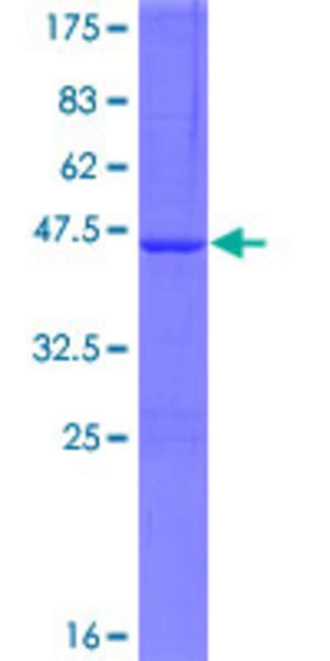 AbnovaHuman ATG4D Full-length ORF (AAH07639.1, 1 a.a. - 141 a.a.) Recombinant