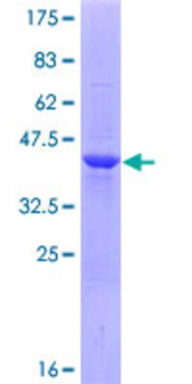 AbnovaHuman MGC15875 Full-length ORF (ENSP00000321290, 1 a.a. - 175 a.a.)