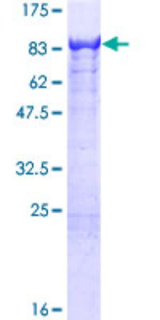 Abnova Human KLC4 Full-length ORF (NP_958929.1, 1 a.a. - 619 a.a.) Recombinant