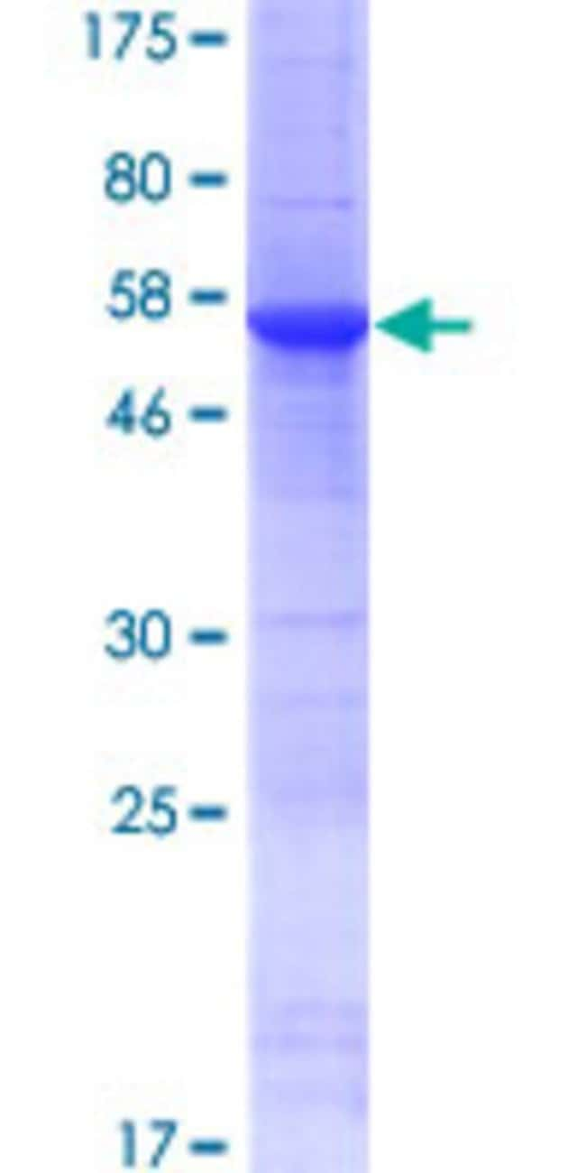 AbnovaHuman ATPBD4 Full-length ORF (NP_542381.1, 1 a.a. - 267 a.a.) Recombinant