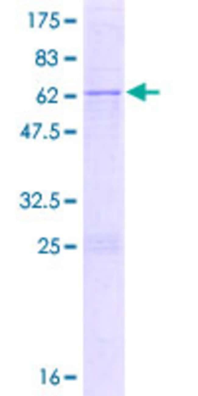 Abnova Human IMP4 Full-length ORF (NP_219484.1, 1 a.a. - 291 a.a.) Recombinant