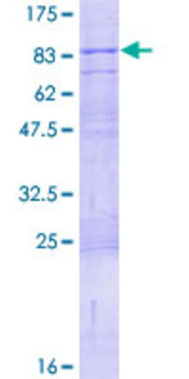 Abnova Human IGSF8 Full-length ORF (NP_443100.1, 1 a.a. - 613 a.a.) Recombinant