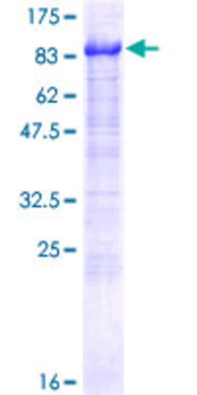 AbnovaHuman AHNAK2 Full-length ORF (AAH49216.1, 1 a.a. - 483 a.a.) Recombinant
