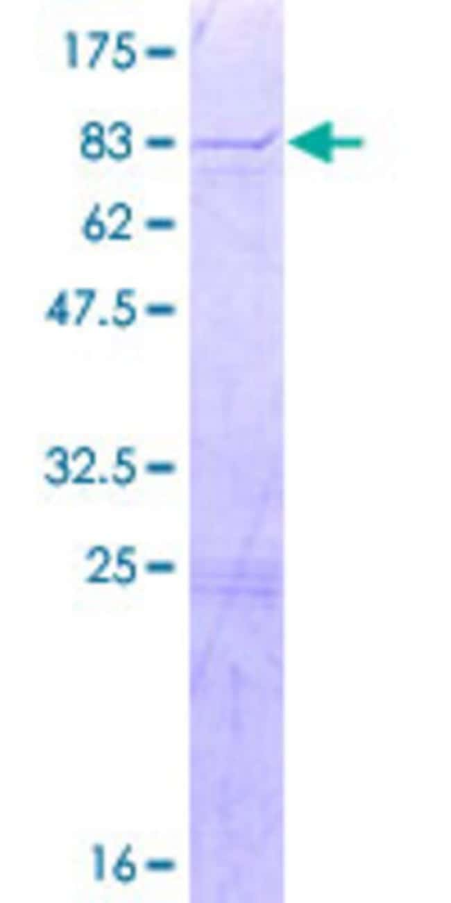 Abnova Human KIF12 Full-length ORF (NP_612433.1, 1 a.a. - 513 a.a.) Recombinant