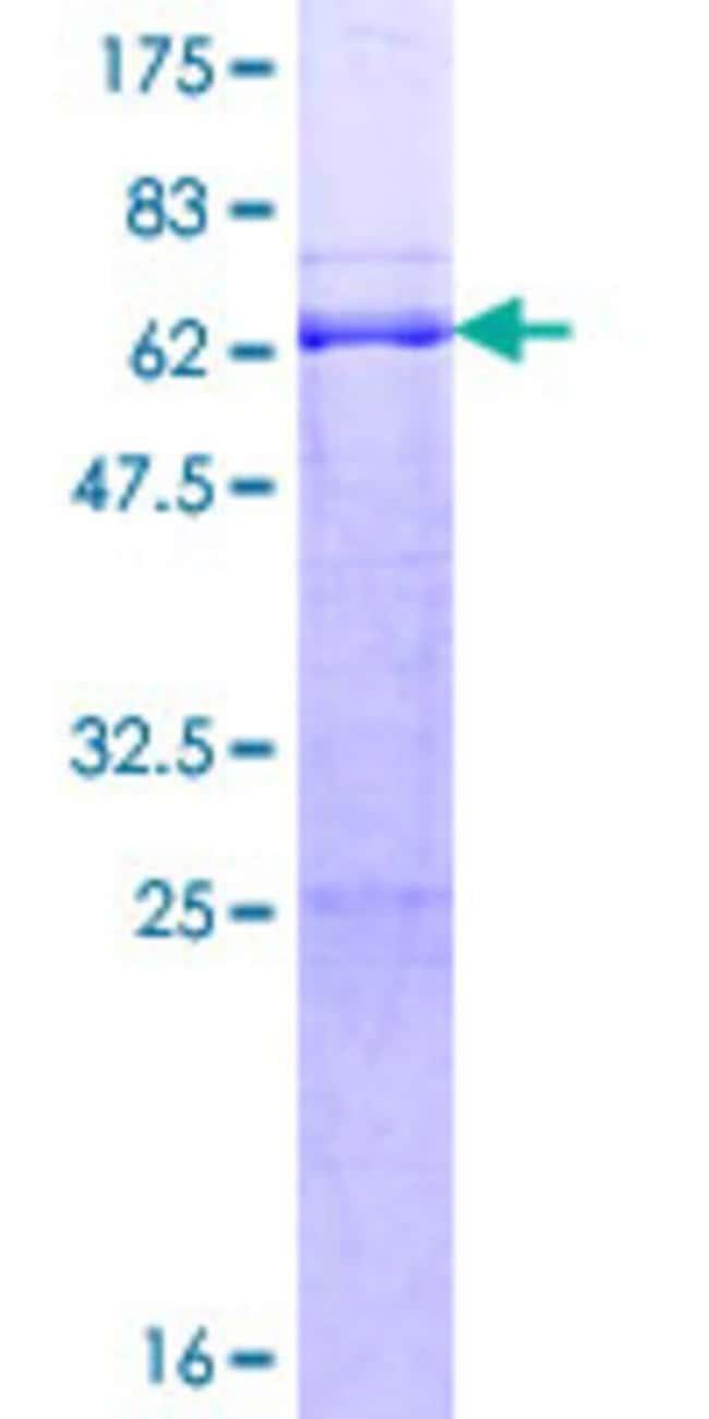 Abnova Human RFFL Full-length ORF (AAH28424.1, 1 a.a. - 327 a.a.) Recombinant