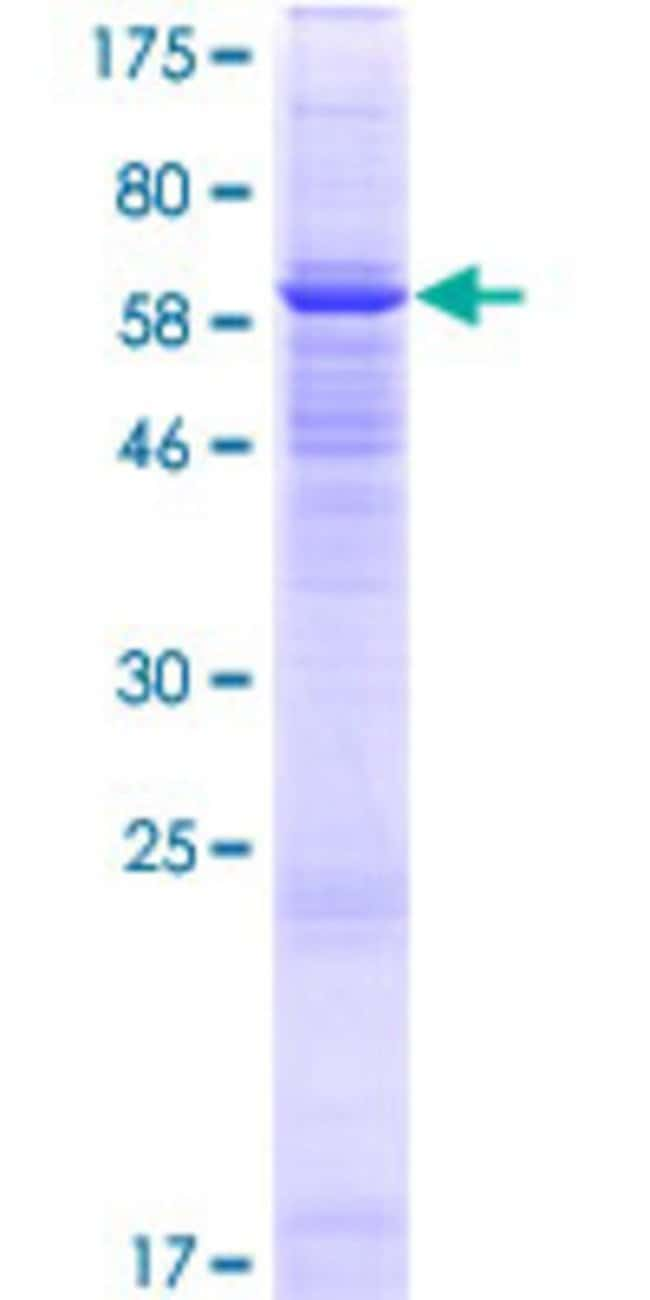 Abnova™Human FAM55A Full-length ORF (NP_689528.1, 1 a.a. - 405 a.a.) Recombinant Protein with GST-tag at N-terminal 25μg Abnova™Human FAM55A Full-length ORF (NP_689528.1, 1 a.a. - 405 a.a.) Recombinant Protein with GST-tag at N-terminal