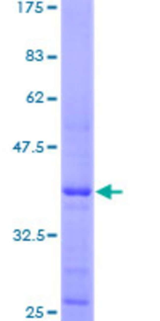 Abnova Human HIST4H4 Full-length ORF (AAH20884, 1 a.a. - 103 a.a.) Recombinant