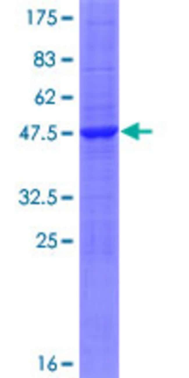 Abnova Human HINT3 Full-length ORF (NP_612638.2, 1 a.a. - 182 a.a.) Recombinant