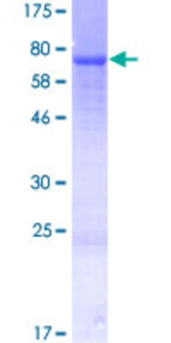 Abnova Human LETM2 Full-length ORF (NP_653253.1, 1 a.a. - 396 a.a.) Recombinant