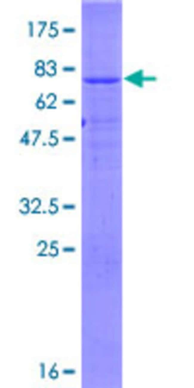 Abnova™Human ZNRF4 Full-length ORF (NP_859061.2, 1 a.a. - 429 a.a.) Recombinant Protein with GST-tag at N-terminal 10μg Abnova™Human ZNRF4 Full-length ORF (NP_859061.2, 1 a.a. - 429 a.a.) Recombinant Protein with GST-tag at N-terminal