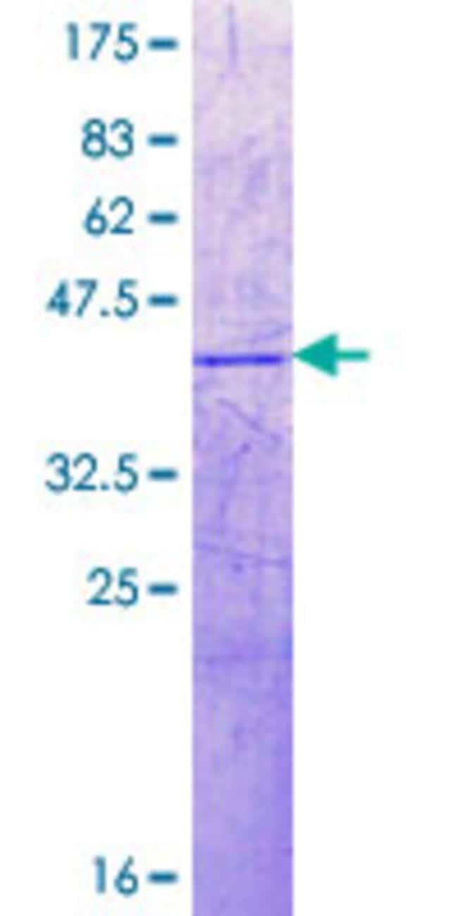Abnova Human H2BFWT Partial ORF (NP_001002916.1, 31 a.a. - 130 a.a.) Recombinant