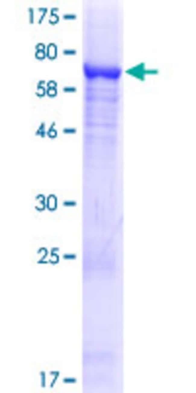AbnovaHuman ALDH1L2 Full-length ORF (AAI03936.1, 1 a.a. - 488 a.a.) Recombinant