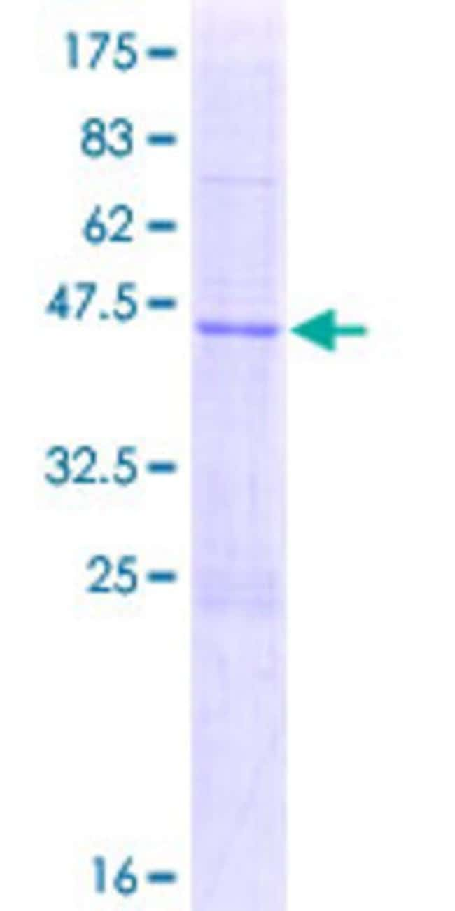 AbnovaHuman APOBEC3H Full-length ORF (AAH69023.1, 1 a.a. - 182 a.a.) Recombinant