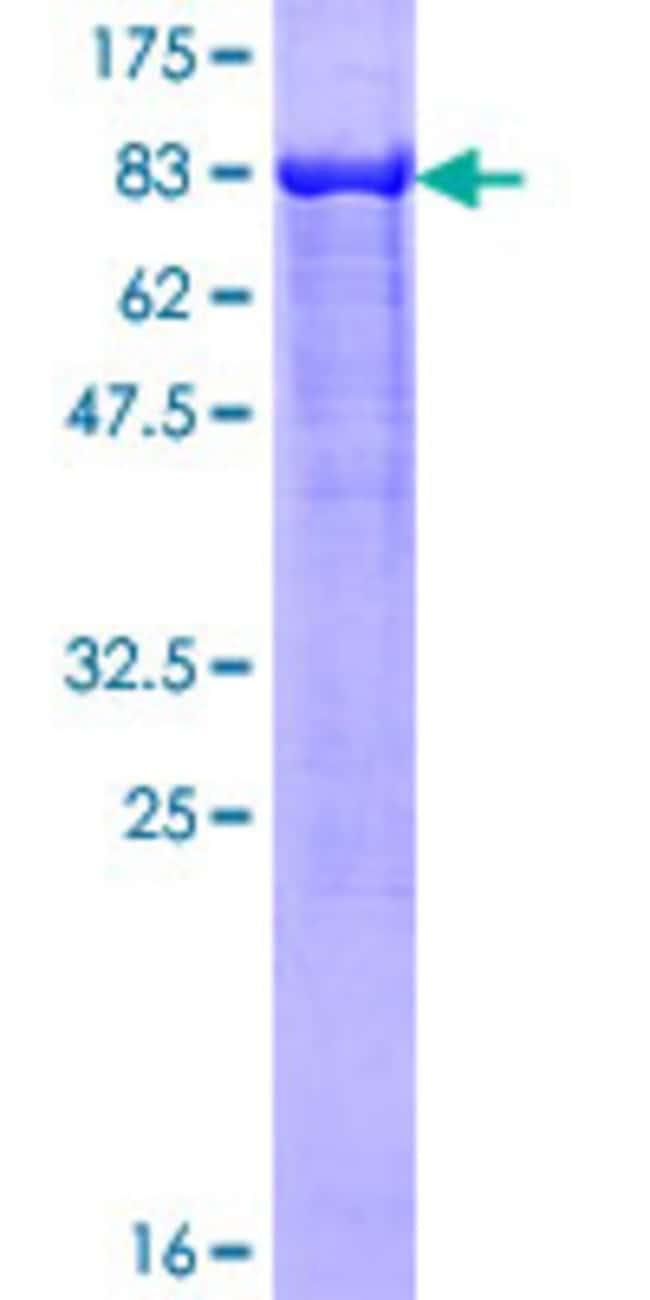 Abnova Human LONRF2 Full-length ORF (AAI01665.1, 1 a.a. - 511 a.a.) Recombinant