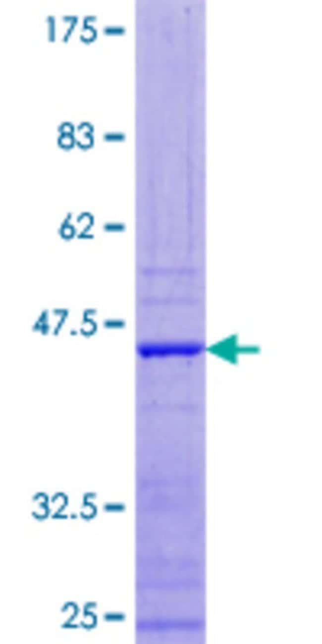 AbnovaHuman APOBEC3F Full-length ORF (NP_001006667.1, 1 a.a. - 101 a.a.)