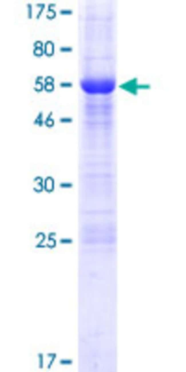 Abnova™Human FAM124A Full-length ORF (AAH34497.1, 1 a.a. - 288 a.a.) Recombinant Protein with GST-tag at N-terminal 10μg Abnova™Human FAM124A Full-length ORF (AAH34497.1, 1 a.a. - 288 a.a.) Recombinant Protein with GST-tag at N-terminal