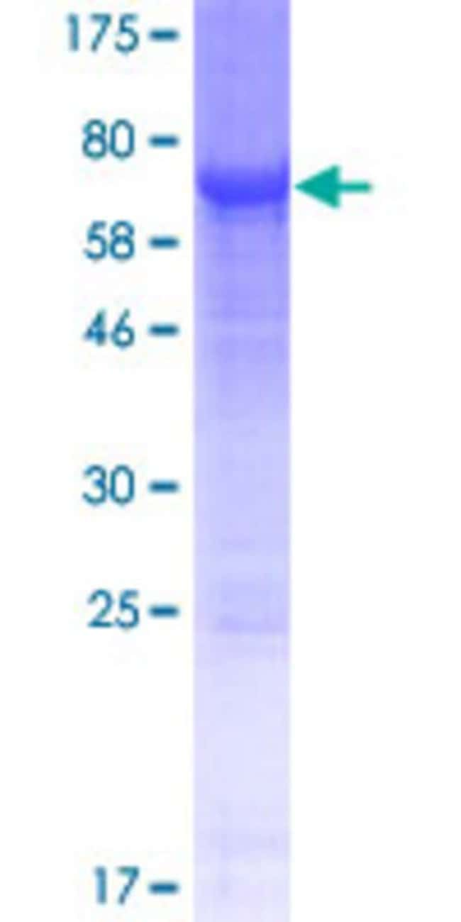 Abnova™Human NT5DC1 Full-length ORF (NP_689942.2, 1 a.a. - 455 a.a.) Recombinant Protein with GST-tag at N-terminal 10μg Abnova™Human NT5DC1 Full-length ORF (NP_689942.2, 1 a.a. - 455 a.a.) Recombinant Protein with GST-tag at N-terminal