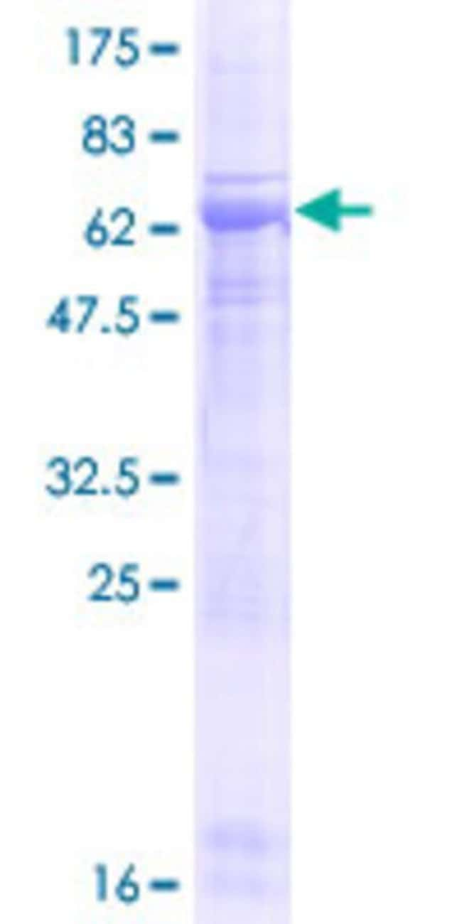 Abnova™Human PELI3 Full-length ORF (AAH21256.1, 1 a.a. - 331 a.a.) Recombinant Protein with GST-tag at N-terminal 25μg Abnova™Human PELI3 Full-length ORF (AAH21256.1, 1 a.a. - 331 a.a.) Recombinant Protein with GST-tag at N-terminal