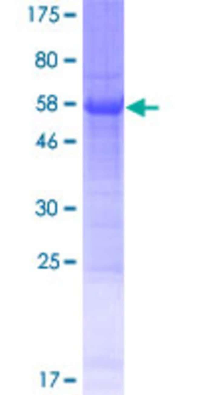 Abnova Human LOC285382 Full-length ORF (NP_001020437.1, 1 a.a. - 250 a.a.)