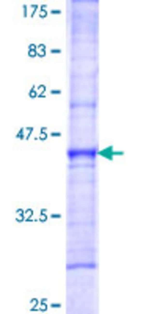 AbnovaHuman ATP11C Partial ORF (NP_775965, 441 a.a. - 545 a.a.) Recombinant