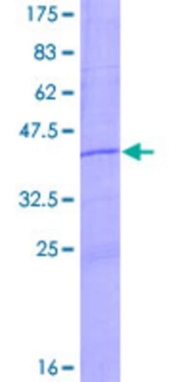 Abnova Human LOC730092 Full-length ORF (ENSP00000326495, 1 a.a. - 152 a.a.)