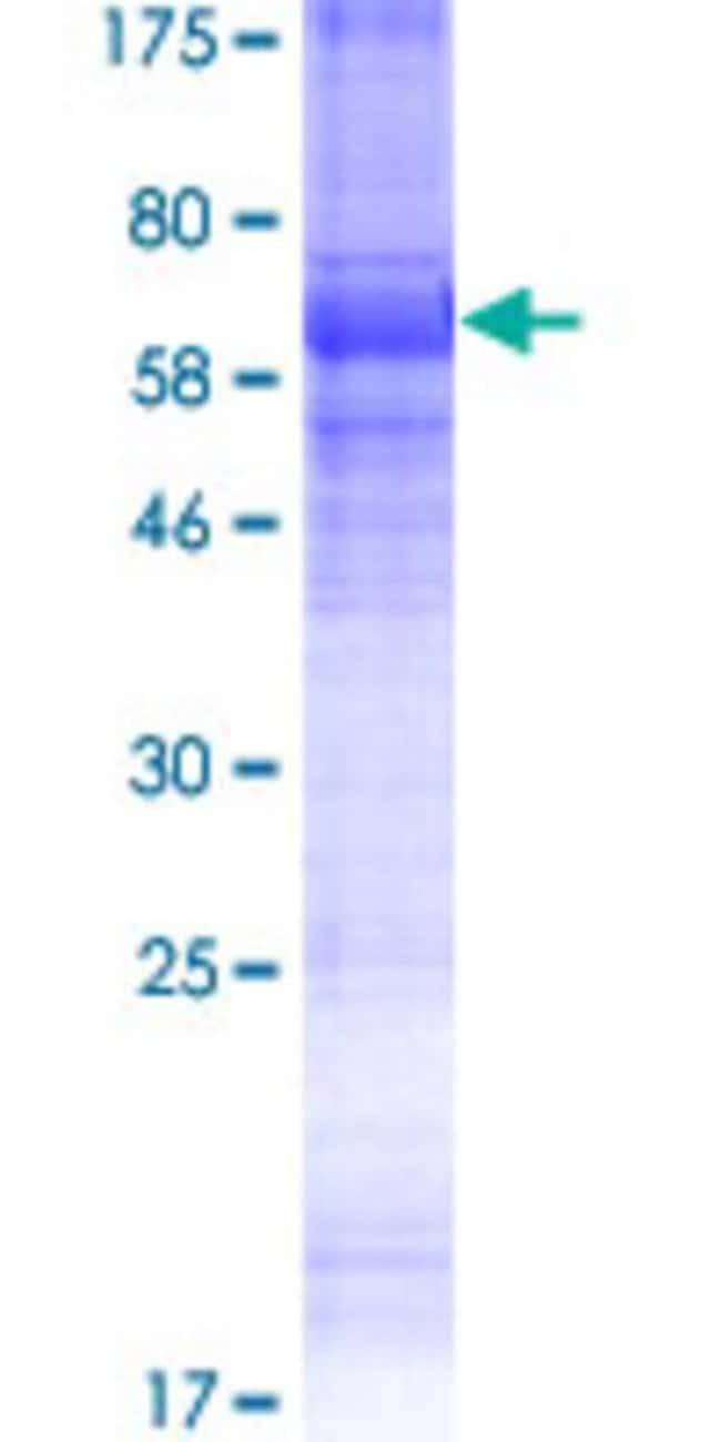 Abnova Human KCNK18 Full-length ORF (AAI52980.1, 1 a.a. - 384 a.a.) Recombinant