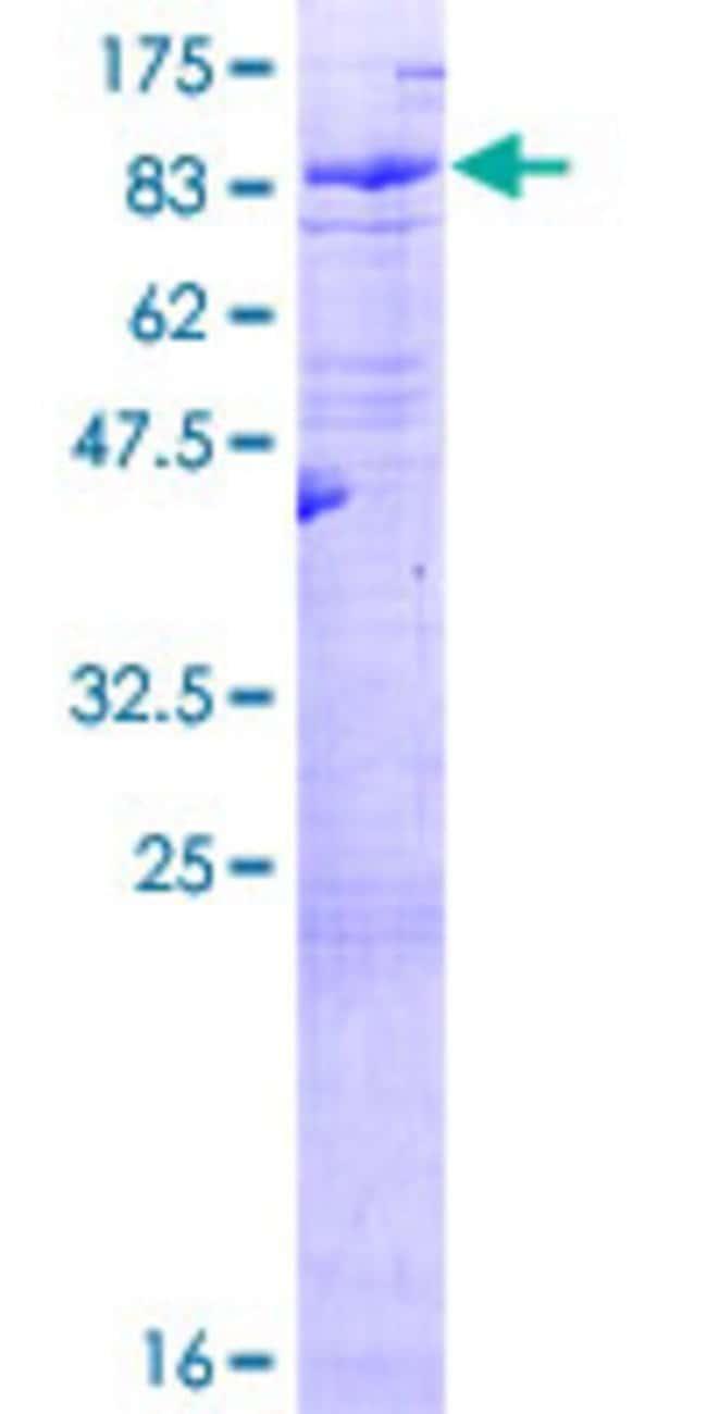 Abnova Human LRIT3 Full-length ORF (AAI04038.1, 1 a.a. - 552 a.a.) Recombinant