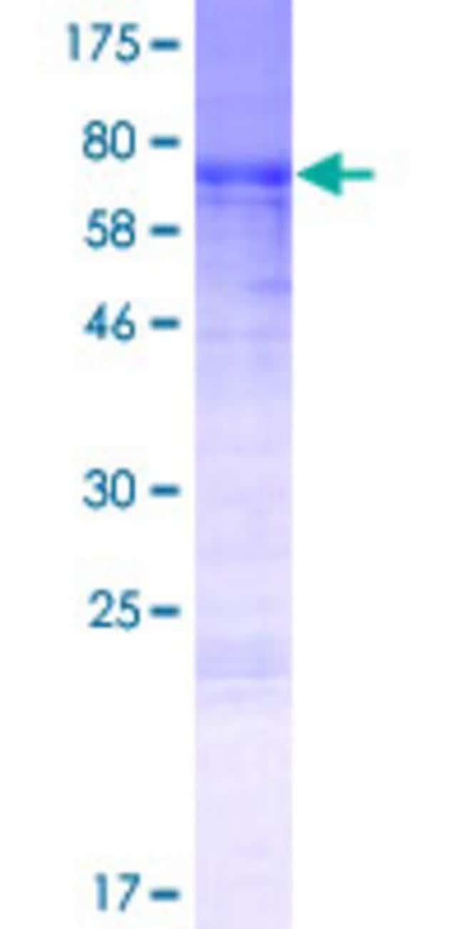 Abnova Human LOC347273 Full-length ORF (NP_001018126.1, 1 a.a. - 364 a.a.)
