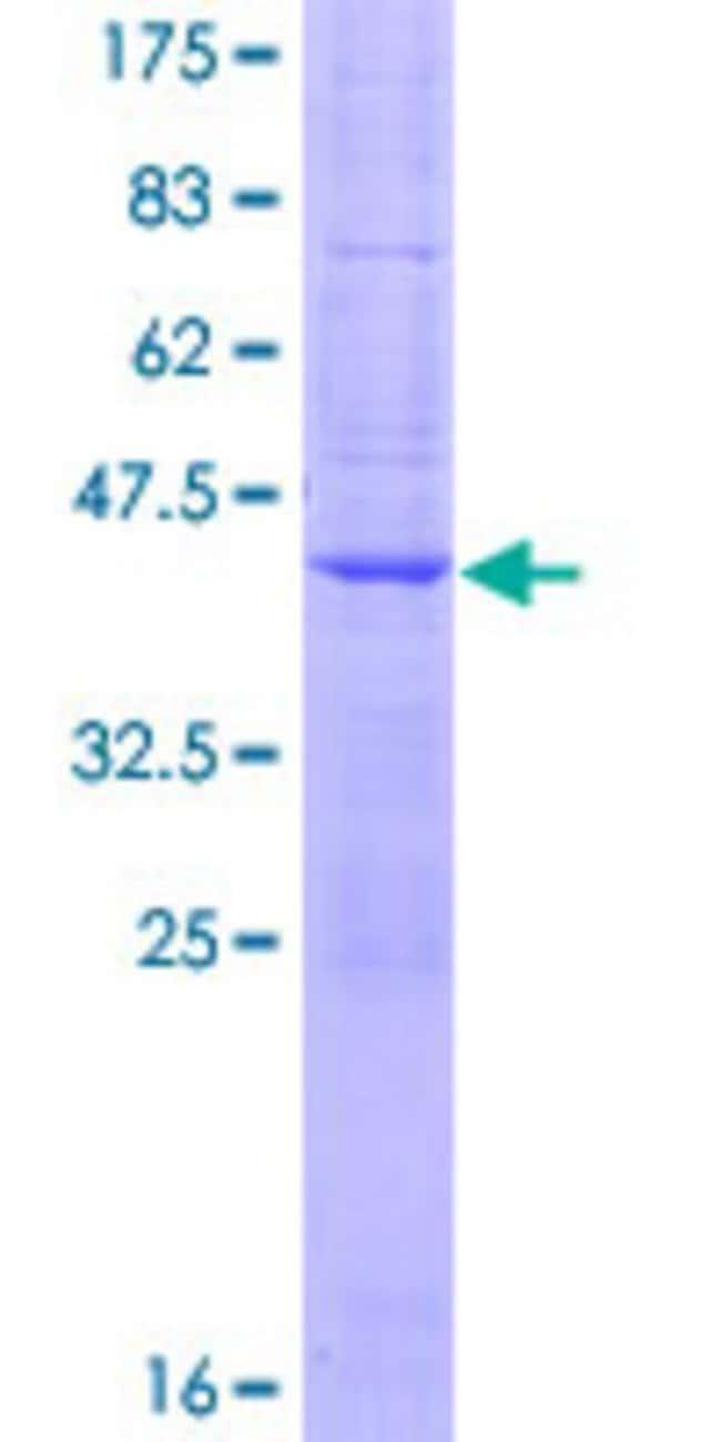 AbnovaHuman ATP9B Full-length ORF (AAH53561.1, 1 a.a. - 136 a.a.) Recombinant