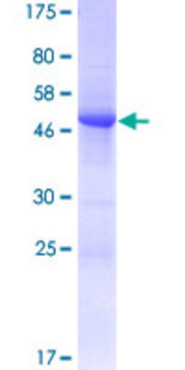 Abnova Human LOC387793 Full-length ORF (AAH62331.1, 1 a.a. - 215 a.a.)
