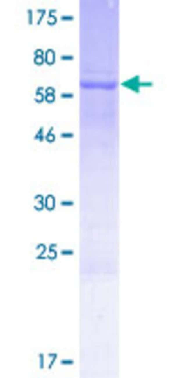 Abnova™Human LOC388503 Full-length ORF (AAI48838.1, 1 a.a. - 363 a.a.) Recombinant Protein with GST-tag at N-terminal 10μg Abnova™Human LOC388503 Full-length ORF (AAI48838.1, 1 a.a. - 363 a.a.) Recombinant Protein with GST-tag at N-terminal