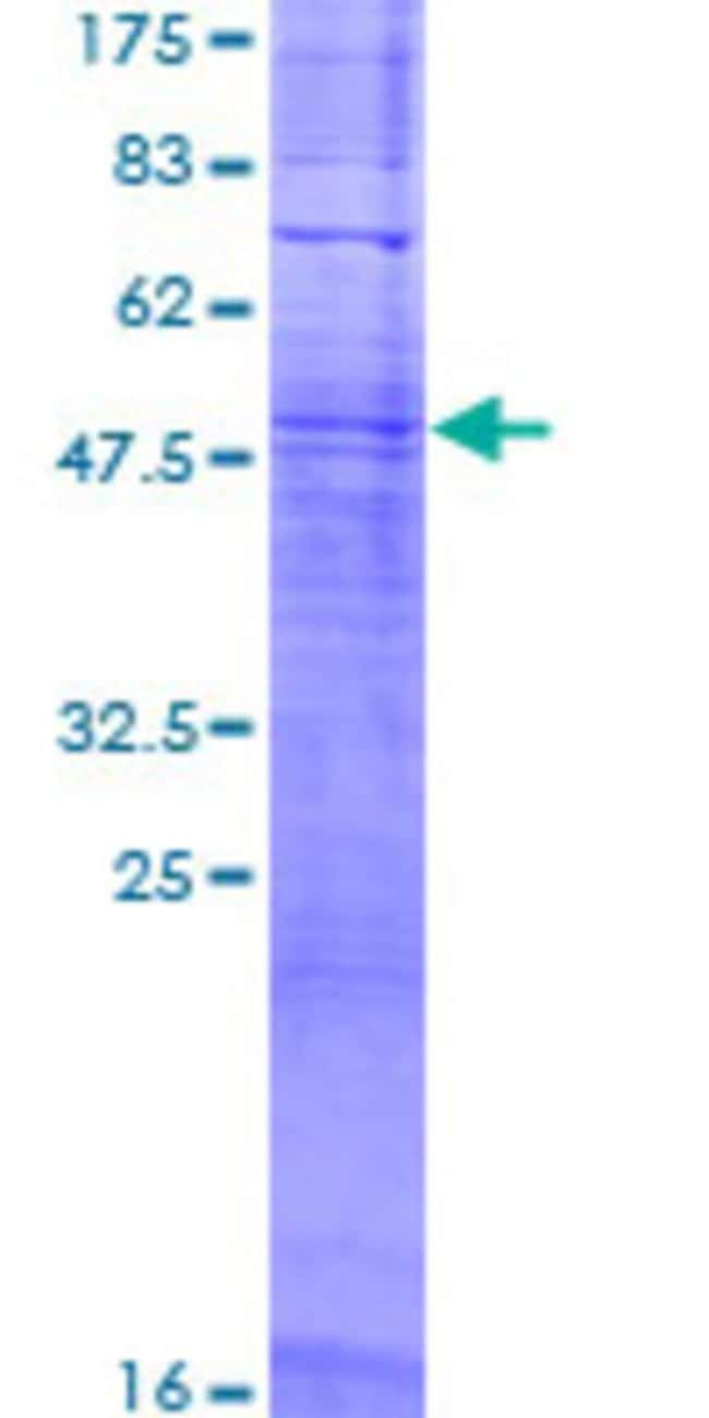 AbnovaHuman OR11L1 Full-length ORF (NP_001001959.1, 1 a.a. - 322 a.a.)