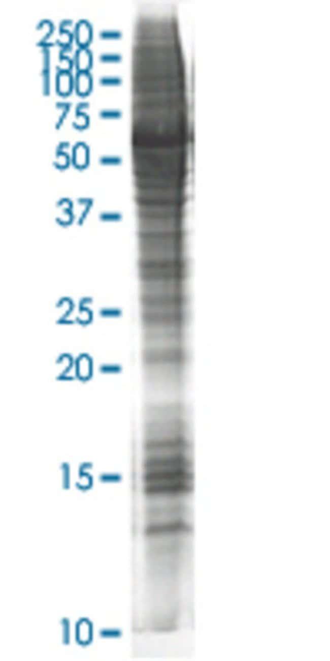 AbnovaATPIF1 HEK293 Cell Transient Overexpression Lysate (Nondenatured)