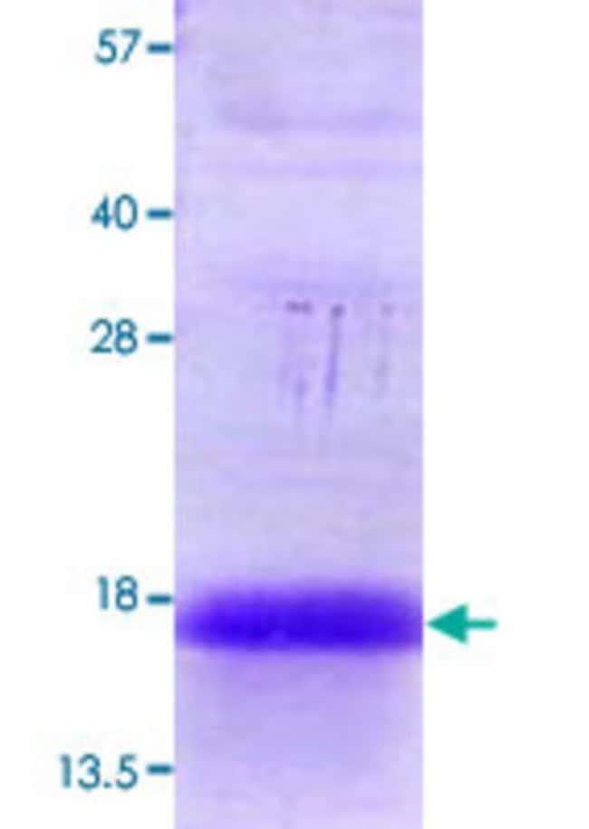 AbnovaHuman ANAPC13 (NP_056206, 1 a.a. - 74 a.a.? ) Full-length Recombinant