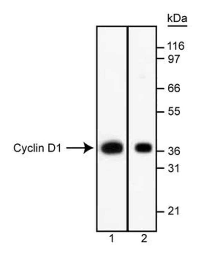 Cyclin D1 Mouse anti-Human, Unlabeled, Clone: G124-326, BD 0.1mg; Unlabeled Cyclin D1 Mouse anti-Human, Unlabeled, Clone: G124-326, BD