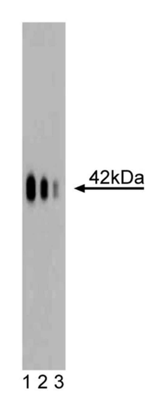 Na+, K+ ATPase 3 Mouse anti-Human, Unlabeled, Clone: 46, BD 150µg;