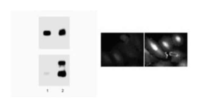 ERK1/2 (pT202/pY204) Phospho-Specific/p44/42 MAPK Mouse, Unlabeled, Clone: